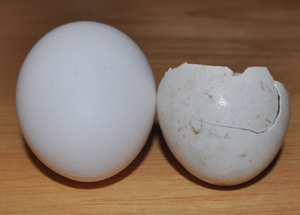 Hen Egg vs Coopers Hawk Egg