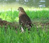 juvenile coopers hawk in the grass