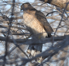 adult male coopers hawk