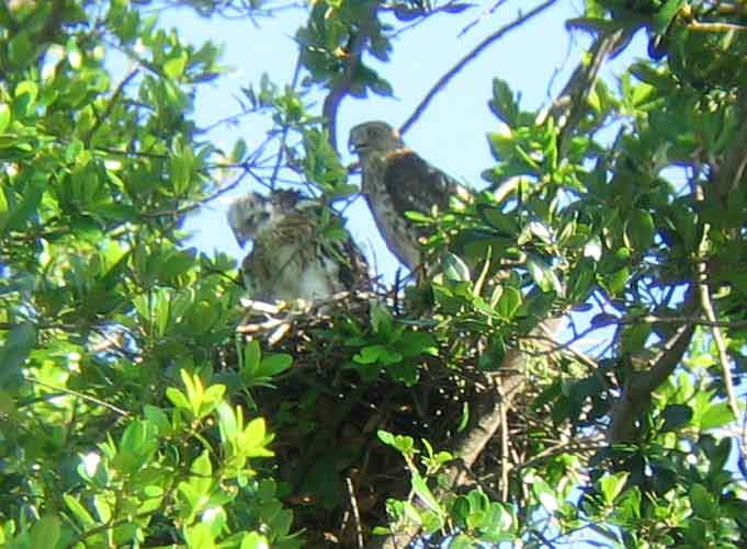Coopers hawk mother and chick